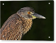 Baby Face - Yellow-crowned Night Heron  Acrylic Print by HH Photography of Florida
