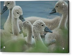 Baby Geese Acrylic Print