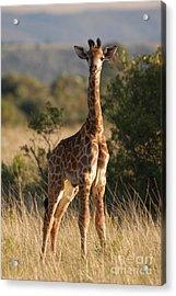 Baby Giraffe Acrylic Print by Andy Smy