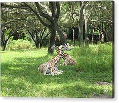 Baby Giraffes  2  Natural Acrylic Print by Sharon Wright Duncan