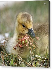 Baby Gosling Collecting Flowers Acrylic Print