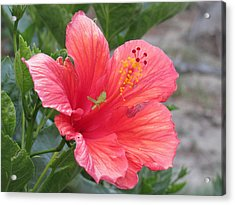 Acrylic Print featuring the photograph Baby Grasshopper On Hibiscus Flower by Nancy Nale