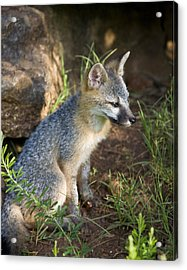 Baby Gray Fox Resting On Bluff Side Acrylic Print