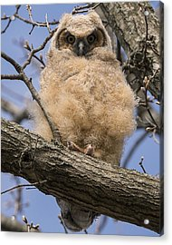 Acrylic Print featuring the photograph Baby Great Horned Owl by Stephen Flint