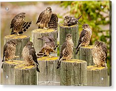 Baby Hawk Taking Inventory  Of Its Parts Acrylic Print