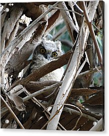 Baby Horned Owl Acrylic Print
