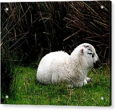 Baby Lamb Acrylic Print by Jeanette Oberholtzer