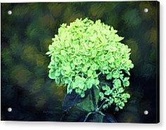 Baby Lime Hydrangea  Acrylic Print by Sandi OReilly
