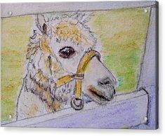 Baby Llama Acrylic Print by Lessandra Grimley