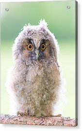 Baby Long-eared Owl Acrylic Print by Janne Mankinen