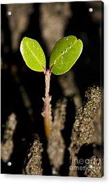 Baby Mangrove Shoot Acrylic Print by Jorgo Photography - Wall Art Gallery
