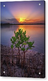 Baby Mangrove Sunset At Indian River State Park Acrylic Print