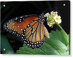Baby Monarch Macro Acrylic Print