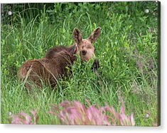 Baby Moose In The Grass Acrylic Print