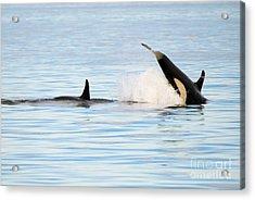 Baby Orca Tag Acrylic Print