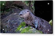 Acrylic Print featuring the photograph Baby Otter by Kelly Marquardt