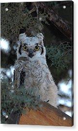Baby Owlet  Acrylic Print by Bill Hyde