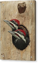 Baby Pileated Woodpeckers Peer Acrylic Print by George Grall