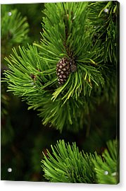 Acrylic Print featuring the photograph Baby Pine Cone by Whitney Leigh Carlson