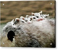 Baby Possums Acrylic Print by Liz Vernand