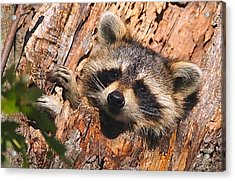 Acrylic Print featuring the photograph Baby Raccoon by William Jobes