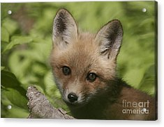 Baby Red Fox Acrylic Print by Robert Pearson