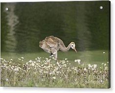 Baby Sandhill Crane Walking Through Wildflowers Acrylic Print
