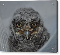 Baby Screech Owl Acrylic Print by Monteen  McCord