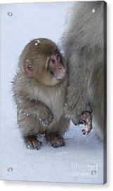 Baby Snow Monkey Acrylic Print by Jean-Louis Klein & Marie-Luce Hubert