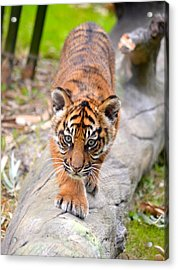 Baby Sumatran Tiger Cub Acrylic Print by Richard Bryce and Family