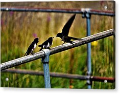 Baby Swallows Feeding Acrylic Print