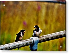 Baby Swallows Acrylic Print