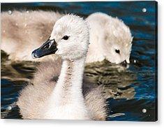 Baby Swan Close Up Acrylic Print