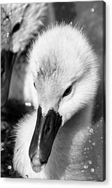 Baby Swan Headshot Acrylic Print