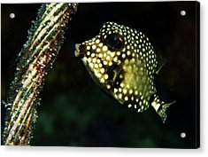 Acrylic Print featuring the photograph Baby Trunk Fish by Jean Noren