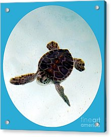 Acrylic Print featuring the photograph Baby Turtle by Francesca Mackenney
