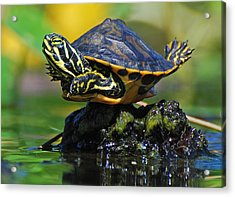 Baby Turtle Planking Acrylic Print by Jessie Dickson