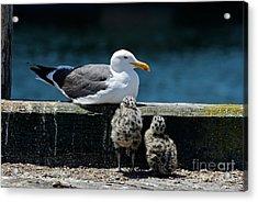 Baby Western Gulls With Mom Acrylic Print
