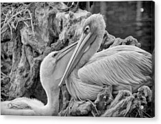 Baby White Pelican Talks To Mother White Pelican Acrylic Print