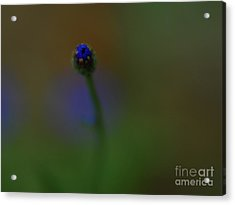 Bachelor Button Blues  Acrylic Print by Michelle Hastings