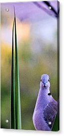 Back At Cha Acrylic Print
