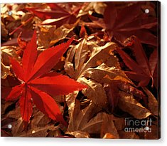 Back-lit Japanese Maple Leaf On Dried Leaves Acrylic Print by Anna Lisa Yoder