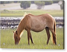 Back-lit Wild Horse Acrylic Print