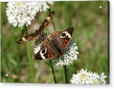 Back To Back Butterflies Acrylic Print by Sheila Brown