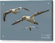 Back To The Colony Acrylic Print