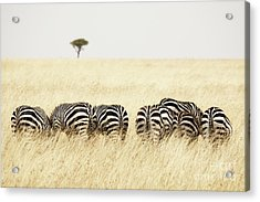 Back View Of Zebras In A Row  Acrylic Print