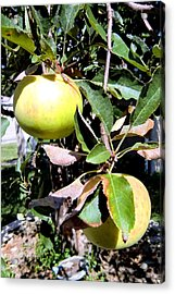 Back Yard Apples Acrylic Print by Mindy Newman