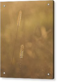 Backlight Grass Stalks Acrylic Print by Barry Culling