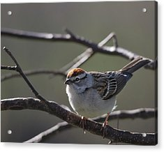 Acrylic Print featuring the photograph Backlit Chipping Sparrow by Susan Capuano