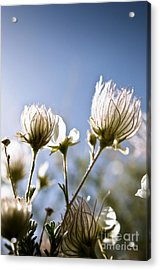 Backlit Fuzzy Flower Acrylic Print by Ray Laskowitz - Printscapes